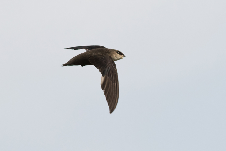 Chimney Swiftb070115_72ppi