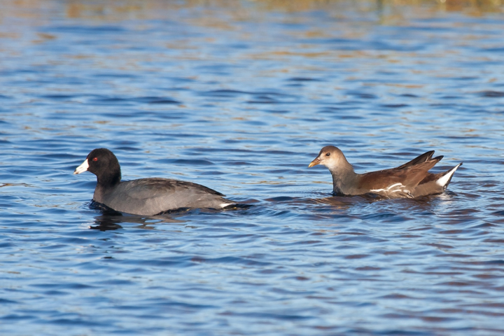 Common Gallinule and Cootb103011_72ppi
