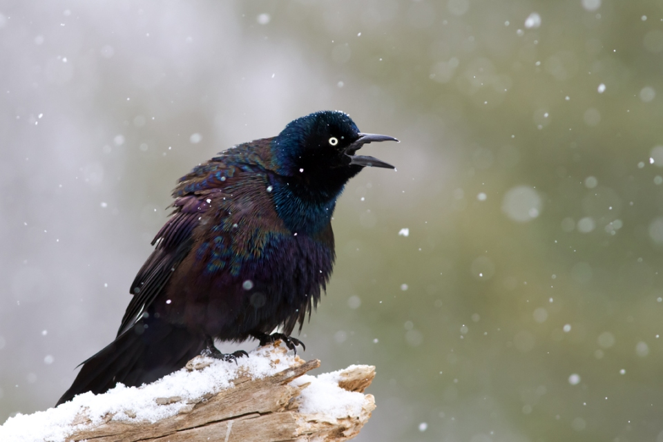 Common GrackleMa022514_72ppi