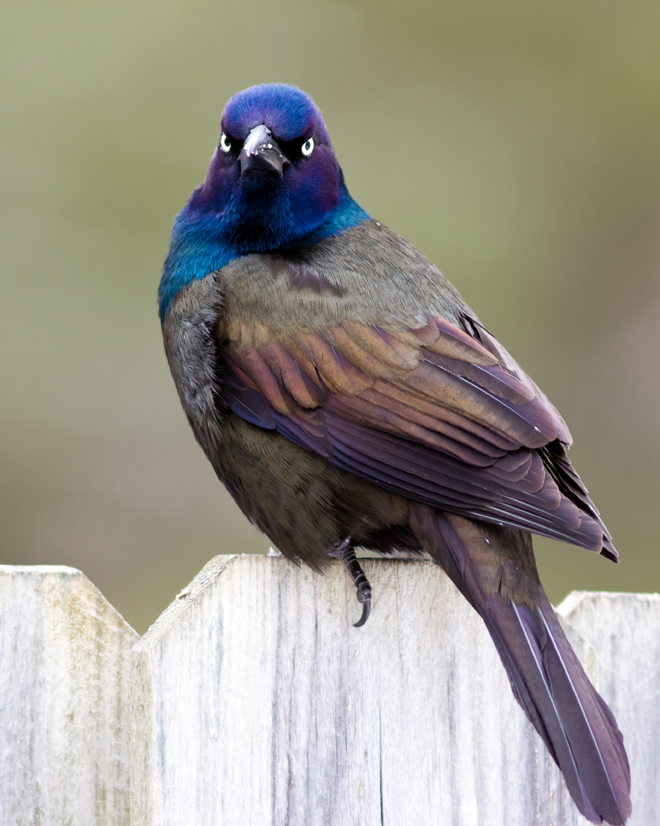 Common GrackleMabronzedb030314_72ppi