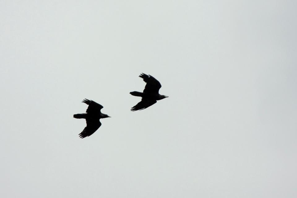 Common Ravenb06.17.09