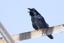 Common Ravenb122412_72ppi