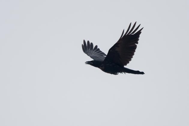 Common Ravenc072210_72ppi