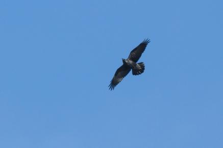 Common Ravenc122412_72ppi