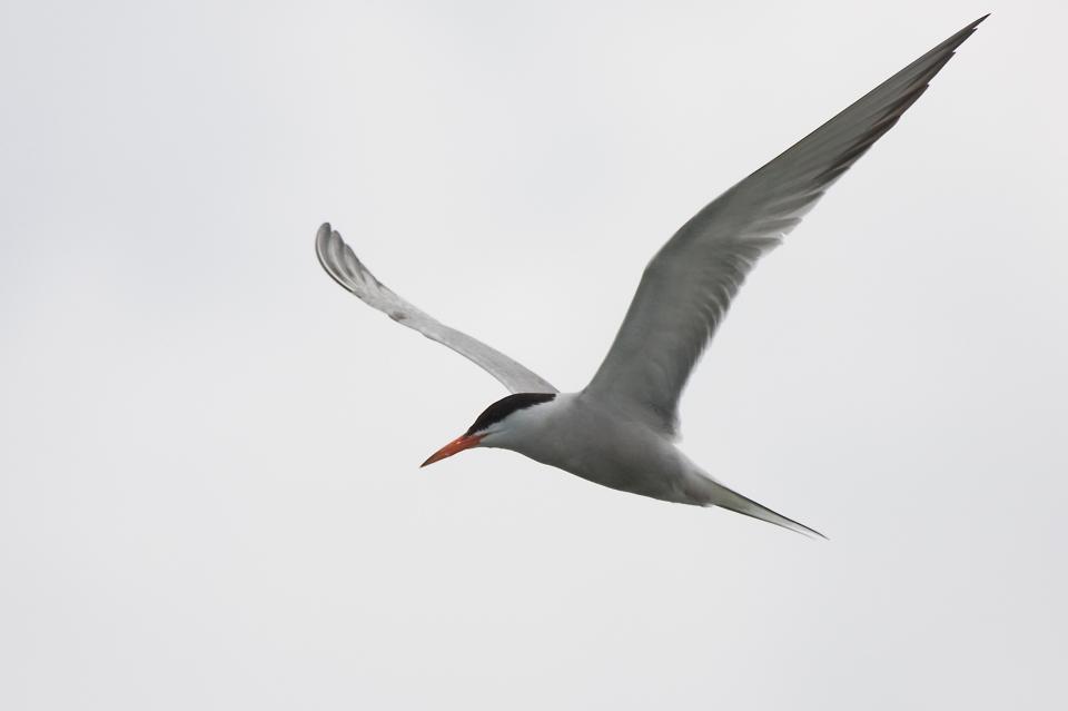 Common Terne07.09.09