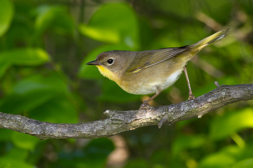 Common YellowthroatFa051013_72ppi