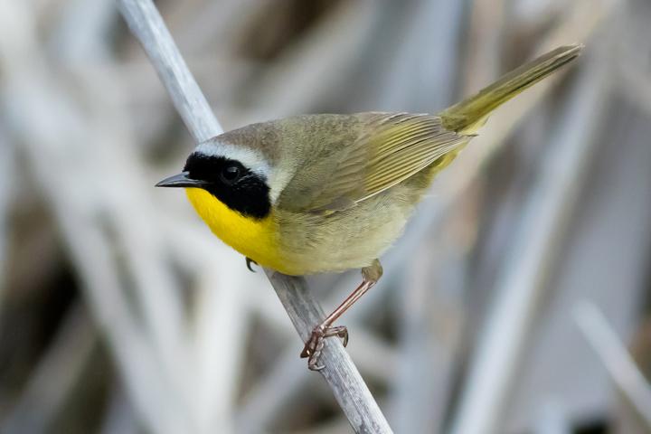 Common YellowthroatM2_72ppi