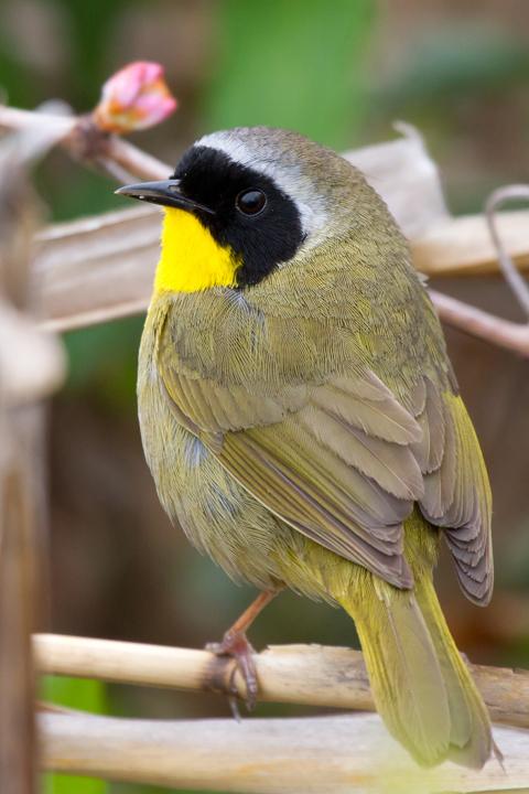 Common YellowthroatMa042013_72ppi