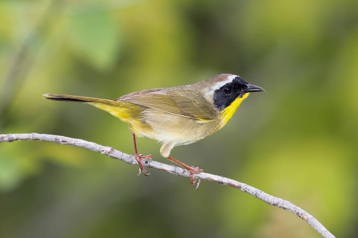 Common YellowthroatMa052916_72ppi