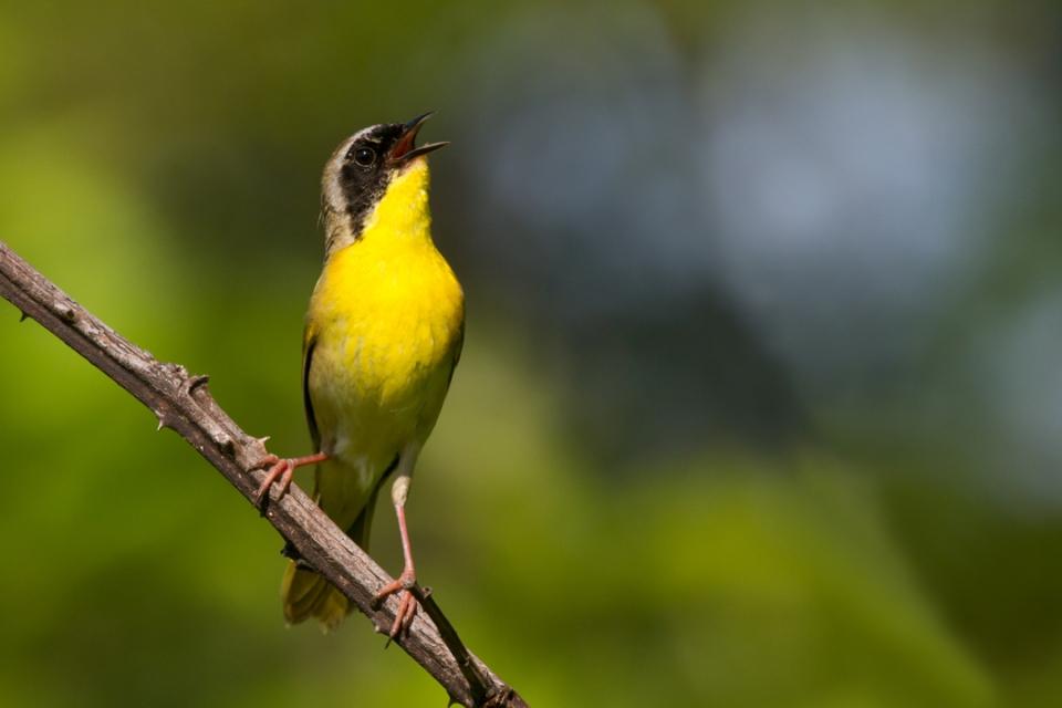 Common YellowthroatMa061612_72ppi