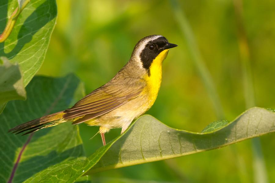 Common YellowthroatMa062112_72ppi