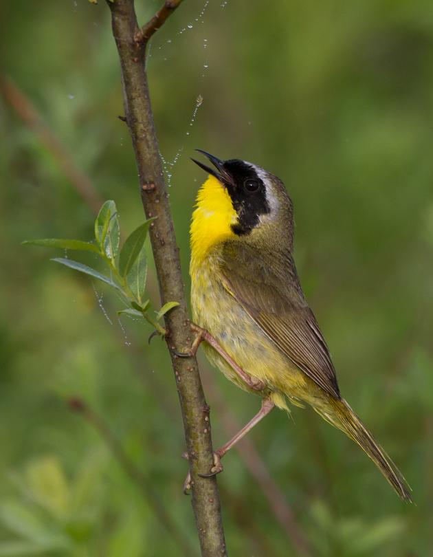 Common YellowthroatMa062313_72ppi