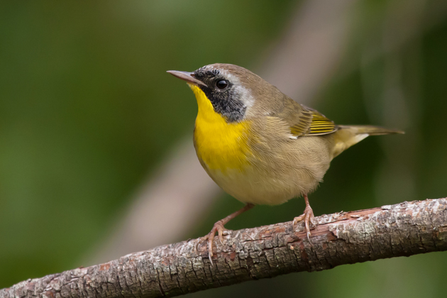 Common YellowthroatMa091711_72ppi