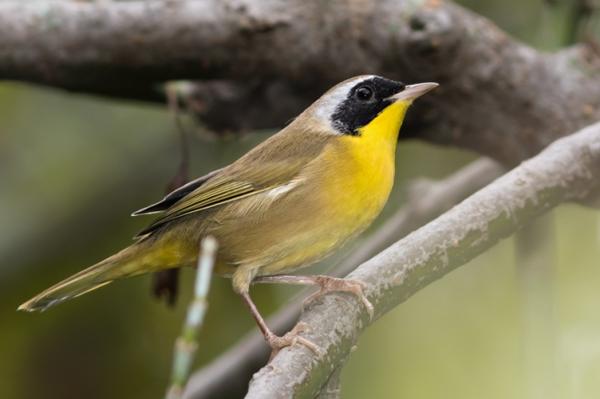 common-yellowthroatma091716_72ppi