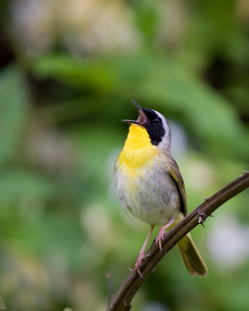 Common YellowthroatMb06.06.09