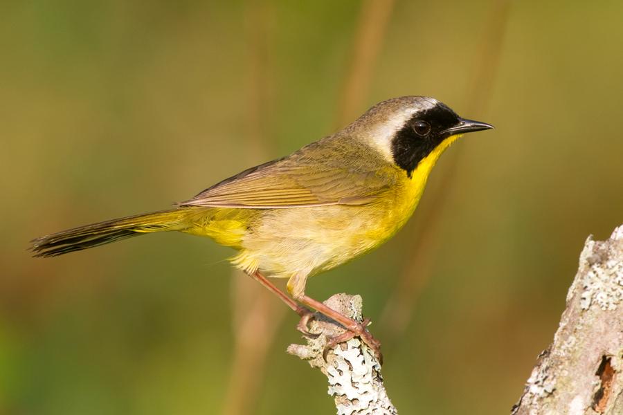 Common YellowthroatMb062112_72ppi