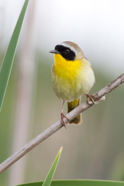 Common YellowthroatMd051313_72ppi