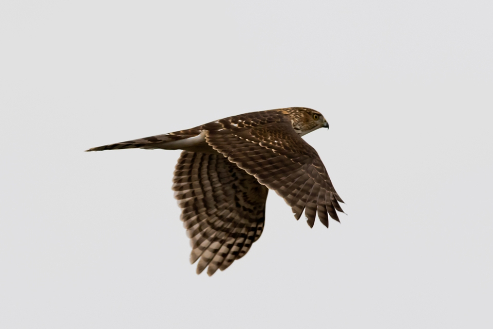 Cooper's HawkHY1_72ppi