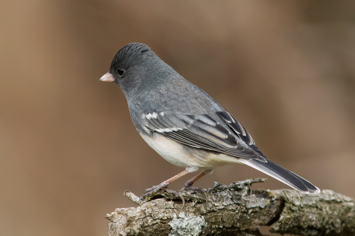 Dark-eyed Junco5_72ppi
