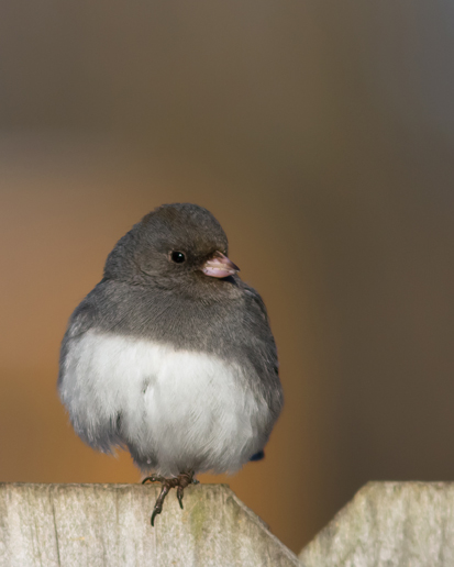 Dark-eyed JuncoFc012414(2)_72ppi