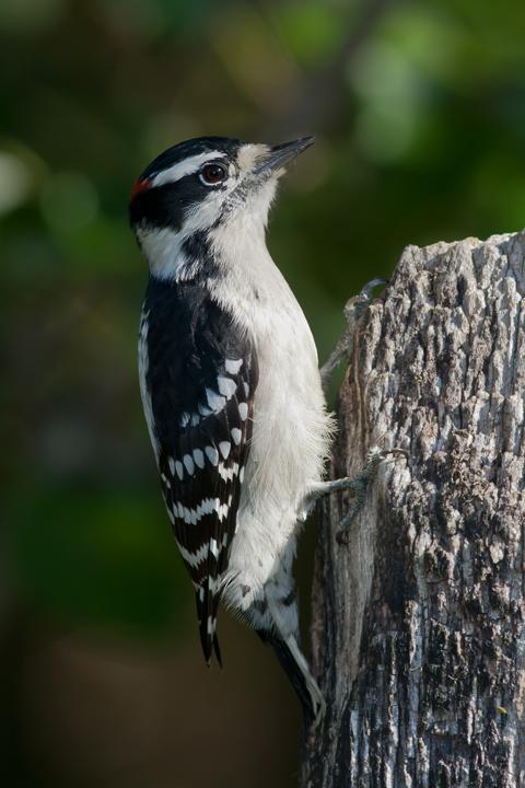 Downy WoodpeckerMa092614_72ppi