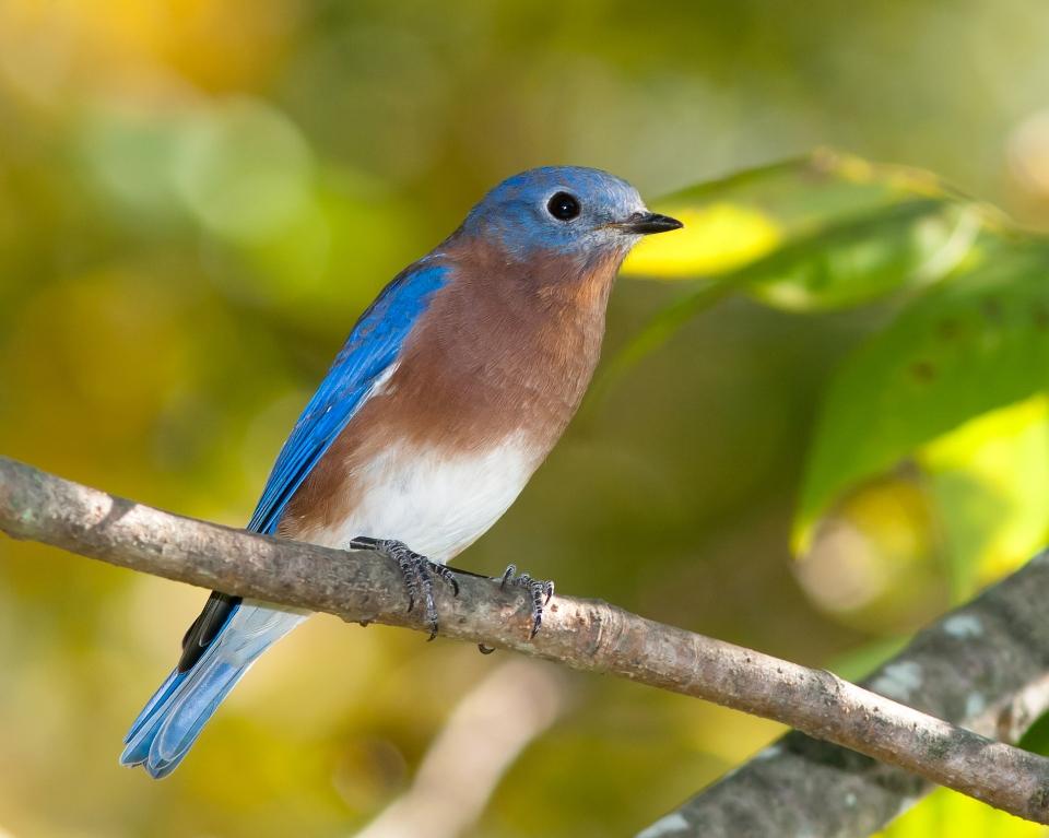 Eastern BluebirdAdMa092614_72ppi