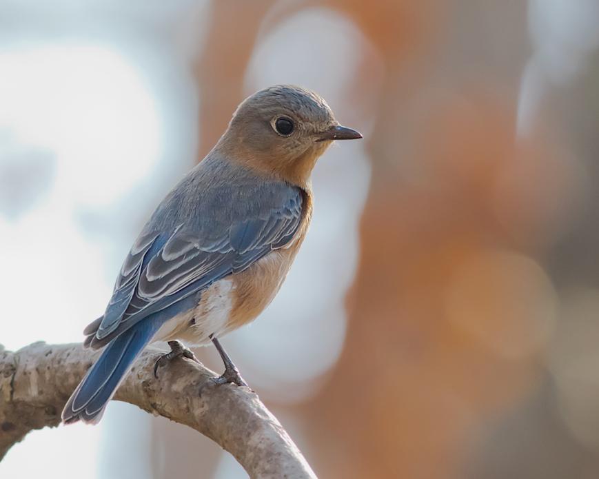 Eastern BluebirdFa030916_72ppi
