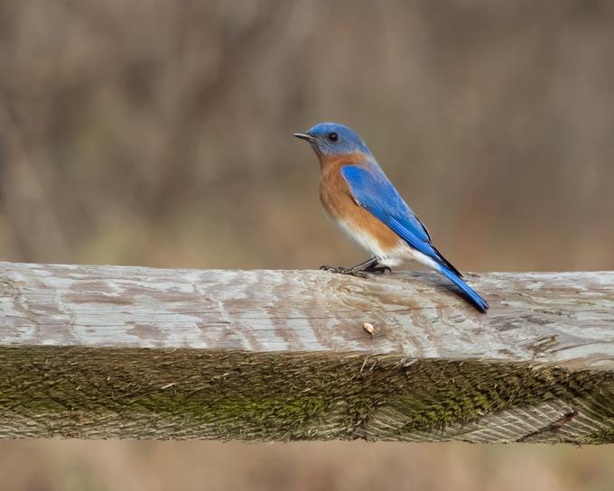 Eastern BluebirdMa010116_72ppi