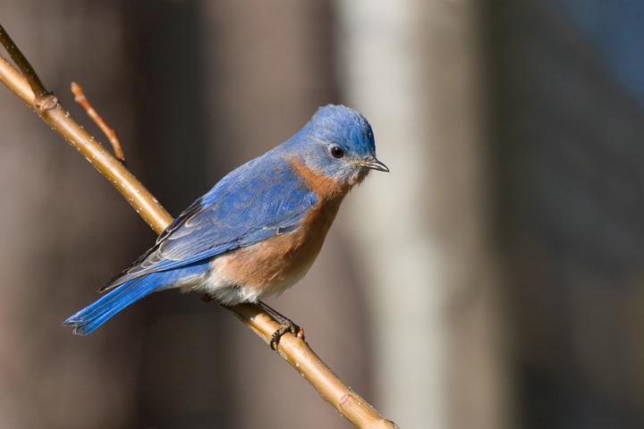 Eastern BluebirdMa011010_72ppi