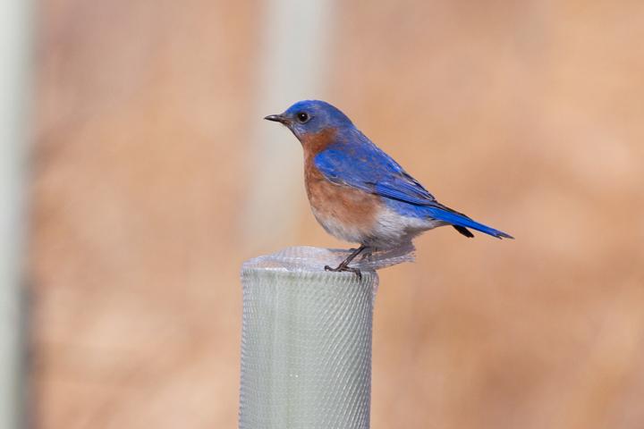 Eastern BluebirdMa021813_72ppi