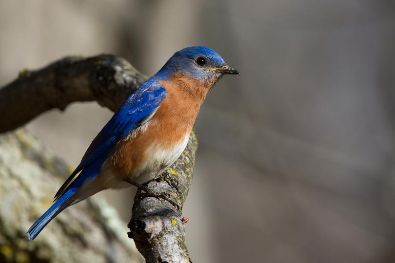 Eastern BluebirdMa030913_72ppi