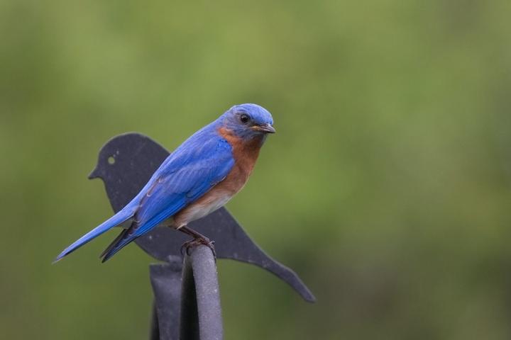 Eastern BluebirdMa051811_72ppi