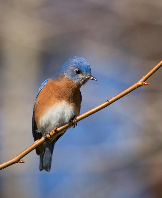 Eastern BluebirdMb011010_72ppi