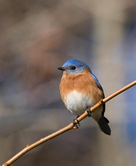Eastern BluebirdMc011010_72ppi