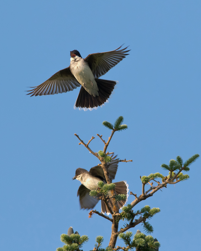 Eastern Kingbird pair2_72ppi