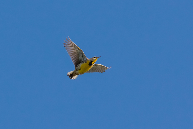Eastern Meadowlark1_72ppi