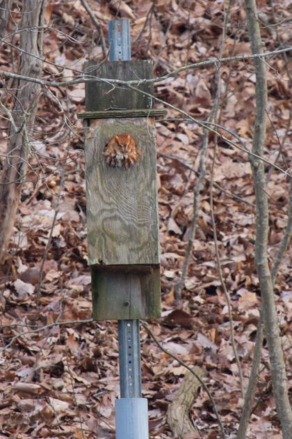 Eastern Screech-Owla021813_72ppi