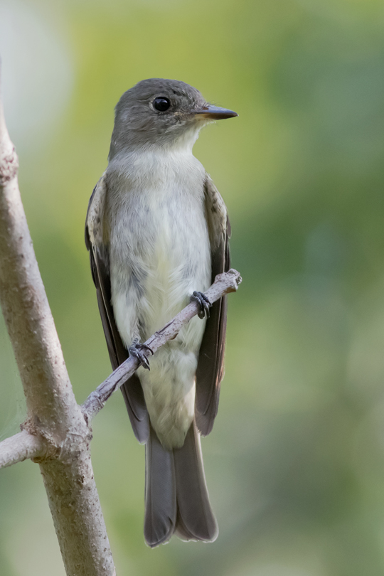 Eastern Wood-pewee1_72ppi