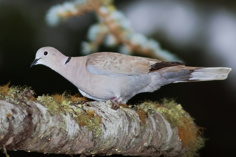 eurasian-collard-dove1_72ppi