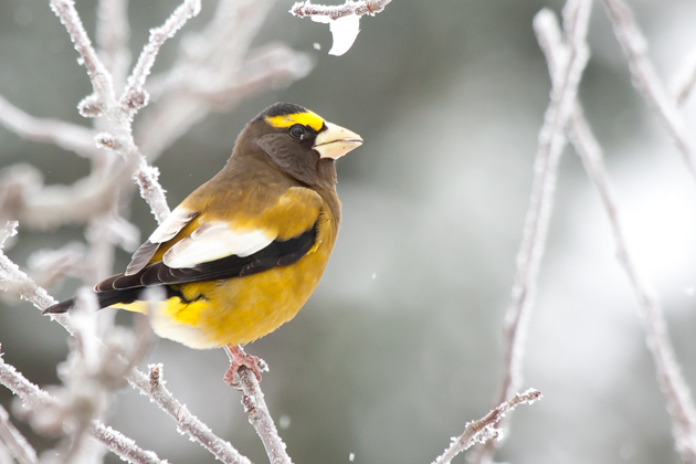 Evening GrosbeakMa122912_72ppi