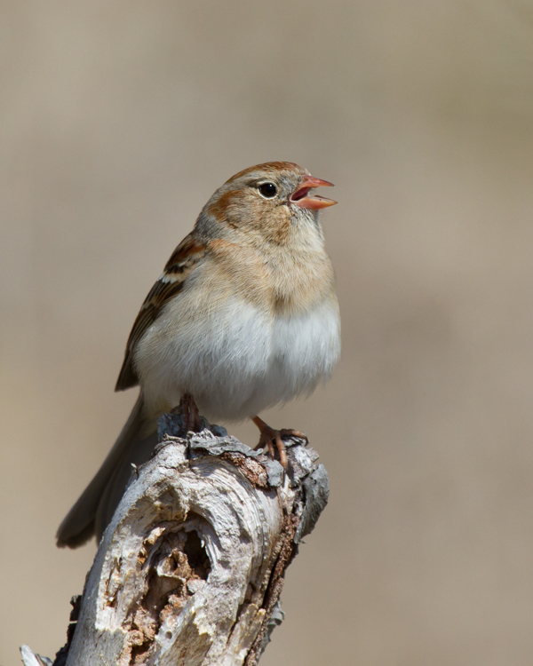 Field SparrowMa042113_72ppi