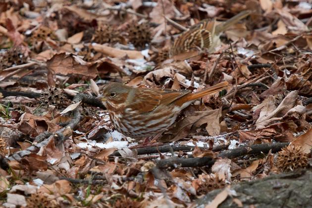 Fox Sparrowa012513_72ppi