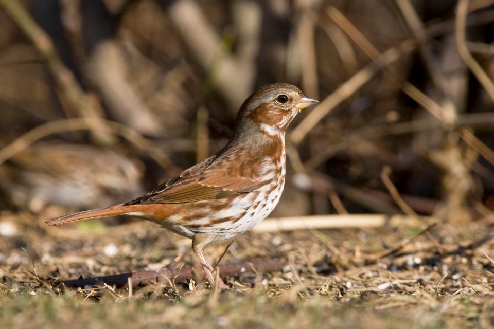 Fox Sparrowa03.06.09