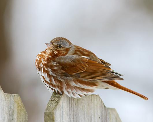 Fox Sparrowa030314_72ppi