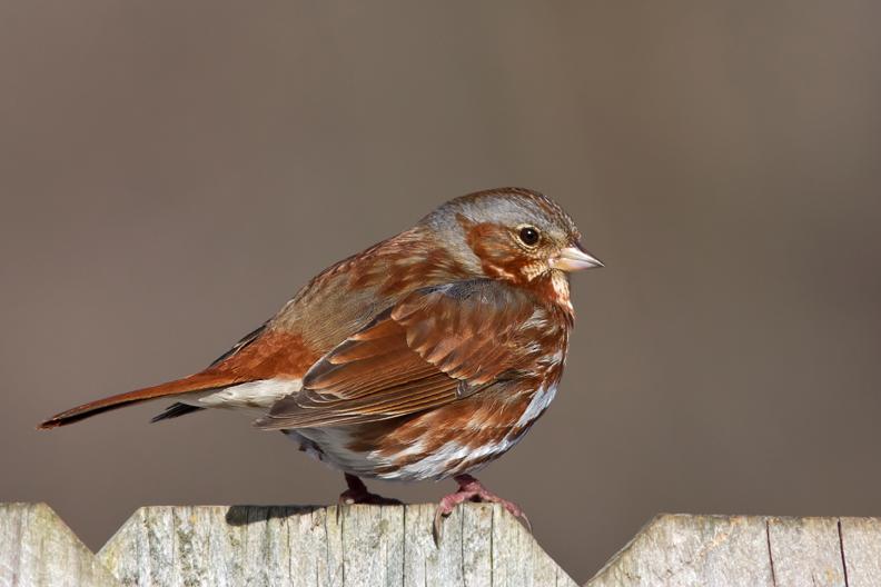 Fox Sparrowa030414_72ppi