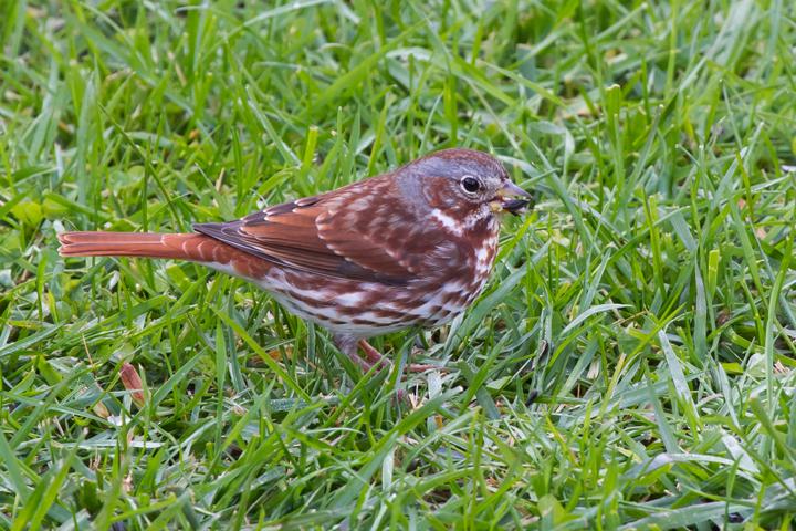Fox Sparrowa111012_72ppi