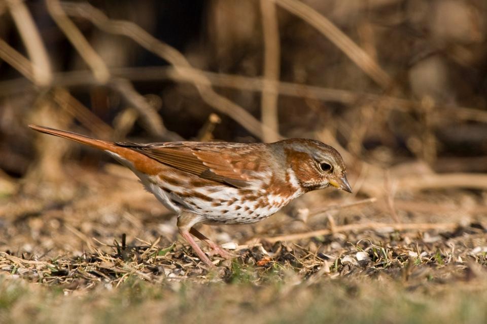 Fox Sparrowb03.06.09