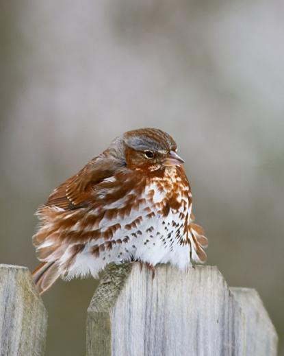 Fox Sparrowb030314_72ppi