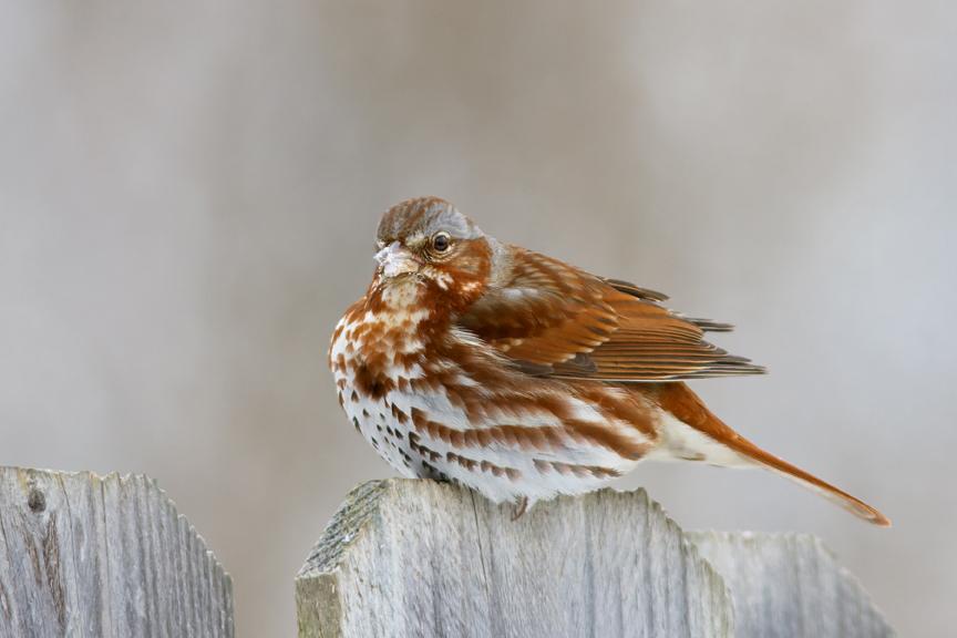 Fox Sparrowcc030314_72ppi