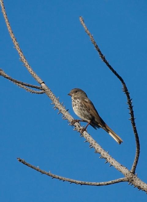 Fox SparrowMb062410_72ppi